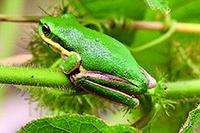 Eastern Dwarf Treefrog