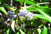 Mangrove Boobiala flower