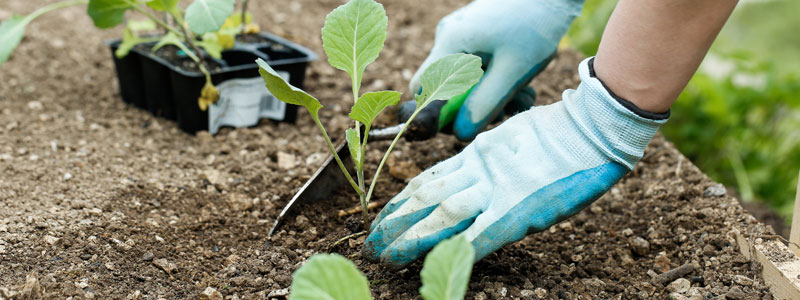 vege planting