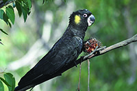 Yellow tailed Cockatoo