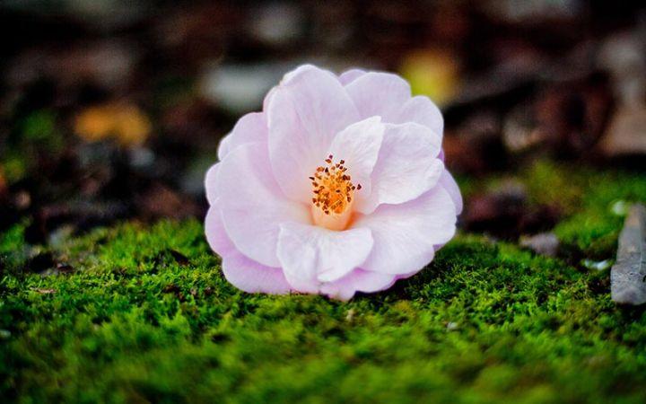 Lisgar Gardens camellia