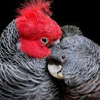 gang gang cockatoos