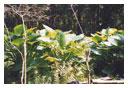 Hornsby Herbarium