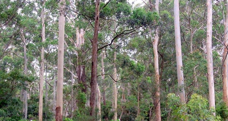 Sydney Turpentine Ironbark Forest