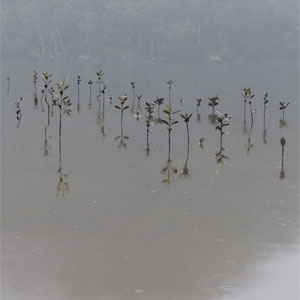 Mangroves at Deerubbin