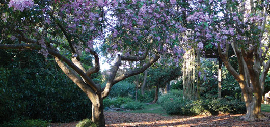 Lilian Fraser Garden jacaranda trees