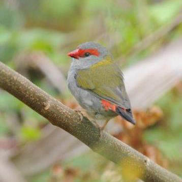 Red-browed Finch - Ronald Watts