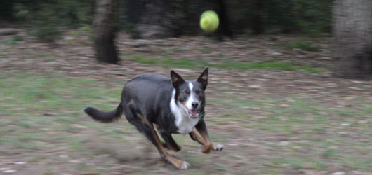 Dog running in off leash area
