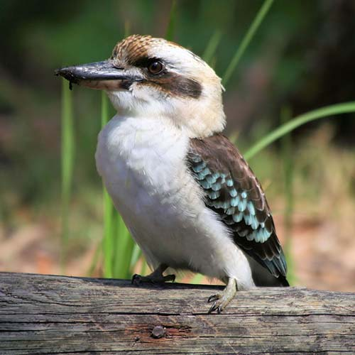 Laughing kookaburra - Ed Williams