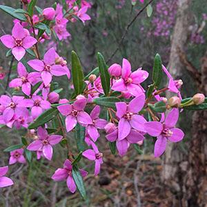 Boronia ledifolia flower by by Elaine Keong
