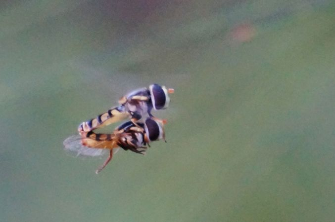 <strong>Love in Flight - David Hooper</strong><p> Is nothing sacred in intimate moments?  As hover flies demonstrate 'Nothing' is impossible, 'cos where there is a will, there is a way!' David</p>