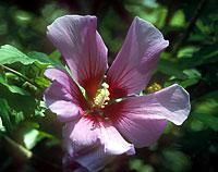 Lilian Fraser flower