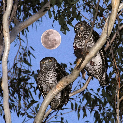 A photograph of two Powerful Owls by Michael Bianchino