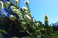 Swamp Paperbark flower