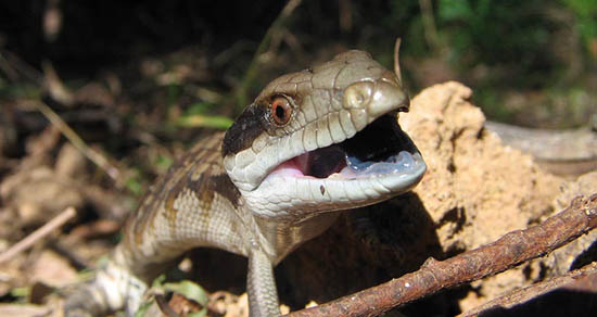 blue-tongue